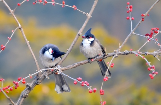 Red Whiskered Bulbul Birds Background for Android, iPhone and iPad