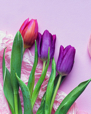 Pink Tulips Background for 240x320
