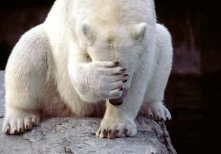 Shamed Polar Bear Wallpaper for Android, iPhone and iPad