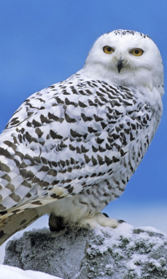 Screenshot №1 pro téma Snowy owl from Arctic 240x400