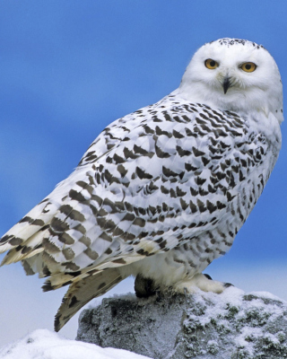 Snowy owl from Arctic Background for 128x160