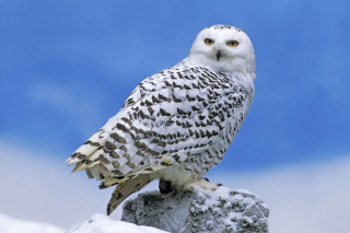 Snowy owl from Arctic Background for Samsung Galaxy Tab 4