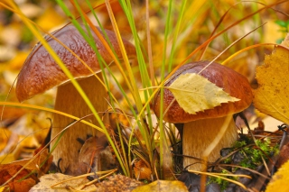 Autumn Mushrooms with Yellow Leaves Background for Android, iPhone and iPad
