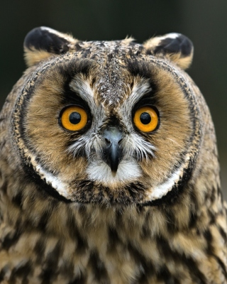 Owl bird predator Background for Nokia Asha 306
