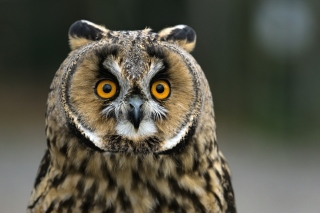 Owl bird predator Wallpaper for Samsung Galaxy Tab 4
