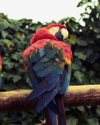 Free Macaw Parrot Picture for Nokia Asha 306