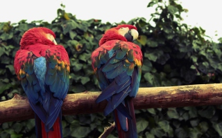 Macaw Parrot Background for Android, iPhone and iPad