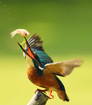 Kingfisher Wallpaper for iPhone 6 Plus