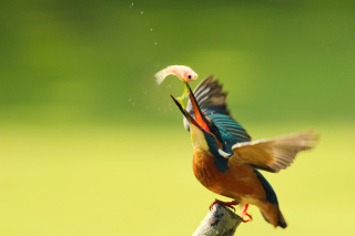 Free Kingfisher Picture for Android, iPhone and iPad