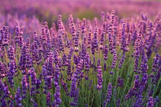 Lavender fields in Moldova Background for Android, iPhone and iPad