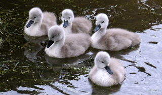 Free Baby Swans Picture for Android, iPhone and iPad