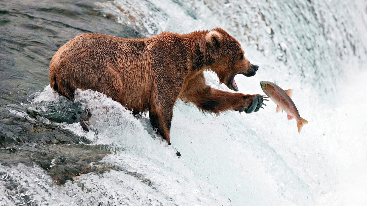 Screenshot №1 pro téma Big Brown Bear Catching Fish 1280x720