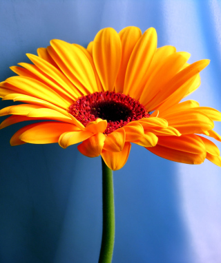 Orange Gerbera Daisy Background for Nokia C1-01