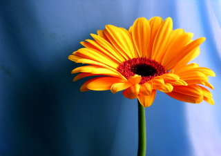 Orange Gerbera Daisy Background for Android, iPhone and iPad