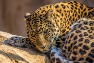 Beautiful Leopard sfondi gratuiti per cellulari Android, iPhone, iPad e desktop