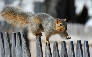 Free Squirrel On Fence Picture for Android, iPhone and iPad