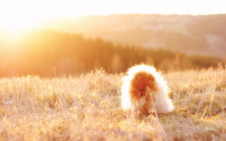 Free Cute Doggy In Golden Fields Picture for Android, iPhone and iPad