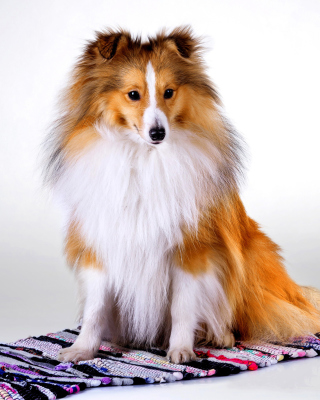Shetland Sheepdog Wallpaper for Nokia Asha 305