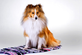 Shetland Sheepdog Background for Nokia XL