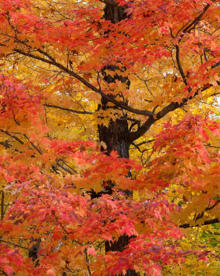 Autumn Leaves Wallpaper for Nokia Asha 306