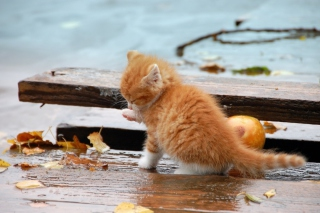Small Orange Kitten In Rain - Obrázkek zdarma