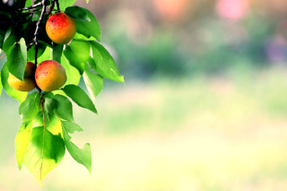 Apricots Background for Android, iPhone and iPad