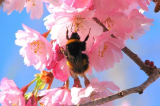 Bee And Pink Flower - Fondos de pantalla gratis