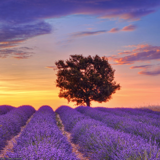 Lavender Fields in Provence sfondi gratuiti per iPad mini