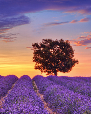 Lavender Fields in Provence Background for 240x320