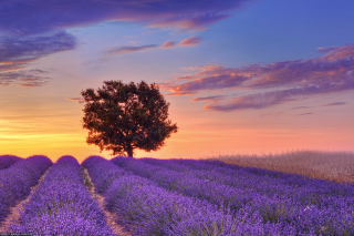 Lavender Fields in Provence Background for Android, iPhone and iPad