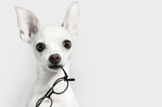 White Dog And Black Glasses - Obrázkek zdarma