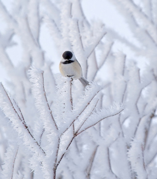 Small Winter Bird Background for Nokia C6