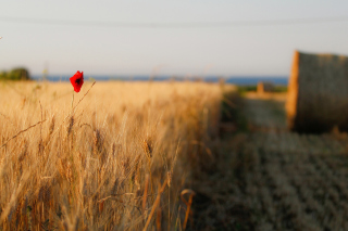 Free Wheat and Stack Picture for Android, iPhone and iPad