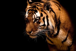 Tiger Wallpaper for Android, iPhone and iPad