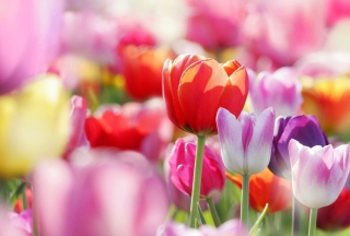 Colorful Tulips Background for Android, iPhone and iPad