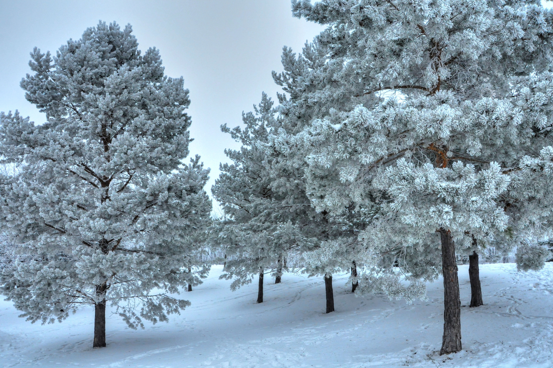 Картинки деревья в снегу зима, днем рождения
