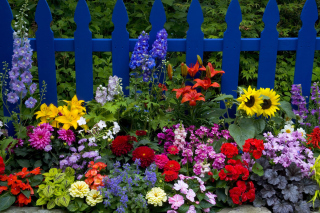 Garden Flowers In Front Of Bright Blue Fence - Obrázkek zdarma