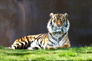 Sumatran tiger Background for Android, iPhone and iPad