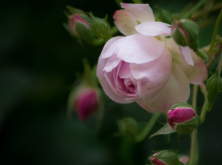 Light Pink Rose sfondi gratuiti per cellulari Android, iPhone, iPad e desktop