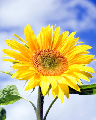 Free Sunflower Field in Maryland Picture for Nokia Asha 300
