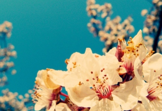 Free Cherry Vintage Flowers Picture for Android, iPhone and iPad