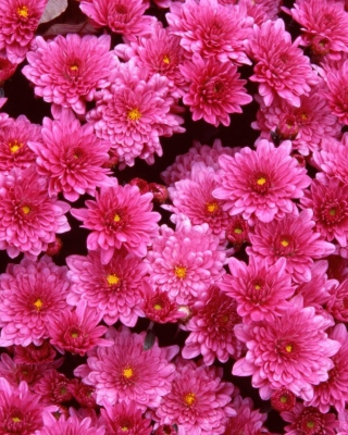 Pink Flowers Background for HTC Titan