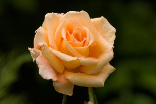 Close Up Macro Rose Photo Wallpaper for Android, iPhone and iPad