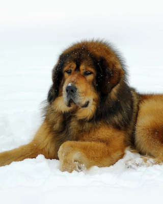 Dog Tibetan Mastiff sfondi gratuiti per iPhone 6