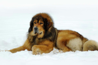 Dog Tibetan Mastiff Picture for Android, iPhone and iPad