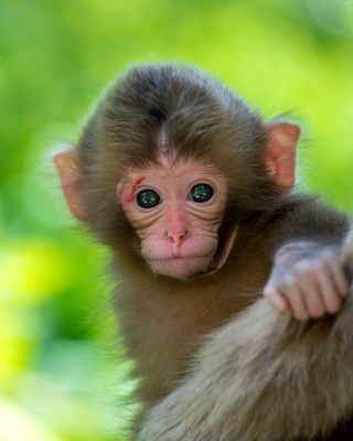 Free Monkey Baby Picture for 240x320