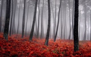 Red Forest Background for Android, iPhone and iPad