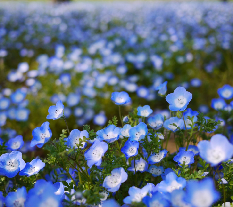 Field Of Blue Flowers para Sony Ericsson XPERIA PLAY