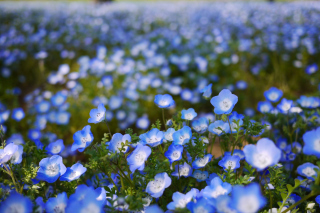 Field Of Blue Flowers Wallpaper for Android, iPhone and iPad