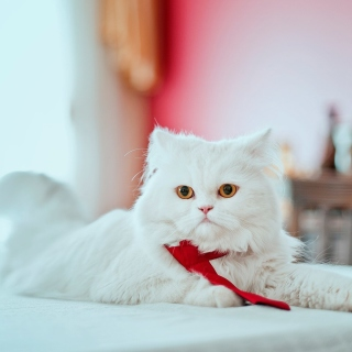 Persian White Cat sfondi gratuiti per iPad mini